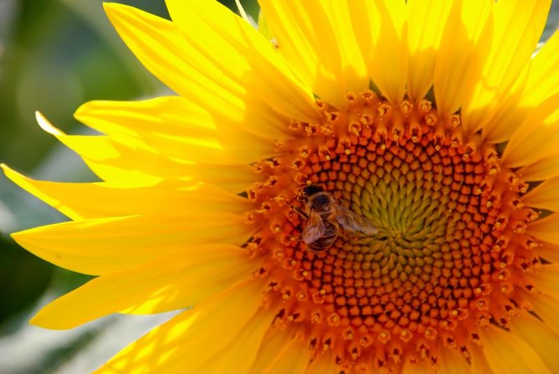 media/image/SKINthings-Sonnenblume-mit-Biene.jpg